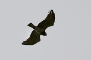 Spring 2012, Rivne Region : adult Short-toed Eagle male over vast hunting grounds of one of the wildest regions of Ukraine