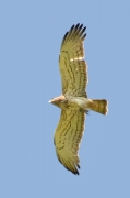 Spring 2012, Rivne Region : another Short-toed Eagle male with an only just caught lizard in his talons