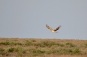 Spring 2013, Central Asia : the eagle is flying over the steppe and semidesert landscape
