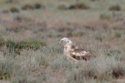 Spring 2013, Central Asia : the same Short-toed Eagle is intensively moulting now; thanks to its pale colouration from above it is noticeable from a great distance while sitting on the ground