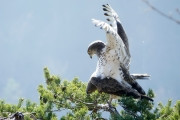 That morning, creating a new Short-toed Eagle? In his shelter, the observer is somewhat embarrassed to witness this moment of intimacy