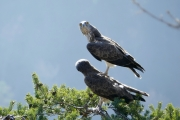 After Love. The male remains a few seconds on the back of the female. Both birds turn their heads, looking around