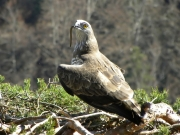19.03 : the Short-toed Eagle male has arrived on the nest with prey and is looking out for the female