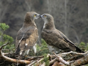 27.03 : one more touch; this time the female is ''kissing'' her partner; considering known aversion of Short-toed Eagles to physical contacts this is really unique moments