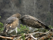 27.03 : she is scratching his head; obviously, these two birds are very close to each other