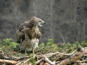 27.03 : the Short-toed Eagle female calls her partner