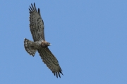 23.07.11 : according to the plumage this flying Short-toed Eagle is an adult female