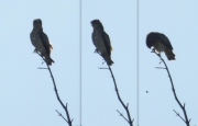 13.06 K11 : her mate drops the pellet down from the top of the same tree