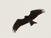 29.06 K11 : the same Short-toed Eagle male is rising above his breeding site and observing the photographer