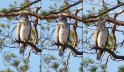 03.04 K11 : just various poses; the perching pine is situated at the border of an old overgrown felled area at the breeding site of the pair