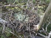 21.07 : oak leaves in the inside of the nest