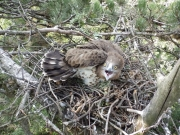 21.07 : another eaglet in the nest built on a Black Pine (Pinus nigra)