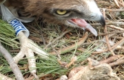 18.07 : the juvenile Short-toed Eagle is back with the colour ring