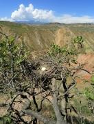 Рис. 4. Гнездо змееяда Circaetus gallicus на вершине фисташки Pistacia vera