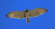 Рис. 6. Самка змееяда Circaetus gallicus, кружившаяся над гнездом