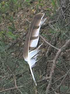 Feather under perch