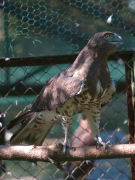 ADULT+INDEFINITE : 19.IX.2006 : Bird - 8 : Author - S.SIDOROV : Observer - A.SHKRABALYUK : Place - Kiev Zoo : Country - Ukraine : Invalid, found in Kiev Region, 7-8 years old, supposedly female