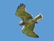 ADULT+MALE : 10.IV.2007 : Bird - 15 : Author - G.BONORA : Observer - F.PETRETTI : Place - Tolfa : Country - Italy : Breeding