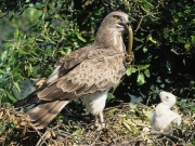 ADULT+MALE : VI.2000 : Bird - 13 : Author - P.HARRIS : Observer - F.PETRETTI : Place - Tolfa : Country - Italy : Breeding