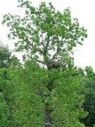 Nesting tree – old oak. Short-toed Eagle female is sitting in nest