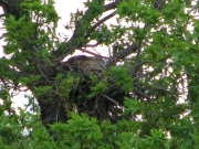 Zoomed picture of the female in nest