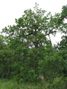 Short-toed Eagle nest on an oak at a height of 6,5 m above the ground