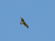 Adult Short-toed Eagle in flight