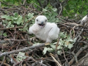 Short-toed Eagle chick in the nest