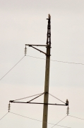 Two Short-toed Eagles on a power pole, the birds were clearly distinguishable by size