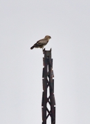 Top of a power pole is the typical perch of Short-toed Eagles not only on open grounds