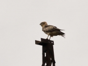 The juvenile Short-toed Eagle on top of the power pole