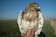 Short-toed Eagle (CIRCAETUS GALLICUS) / by BLASCO-ZUMETA J. 2006
