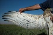 Short-toed Eagle (CIRCAETUS GALLICUS) / by BLASCO-ZUMETA J. 2006