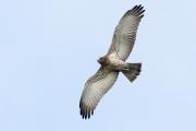 Juvenile Short-toed Eagle A08 / by Bertalan Majercsak