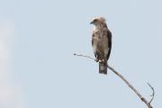 3cy Short-toed Eagle A11 / by Daniel Balla