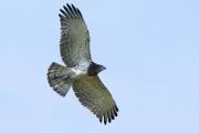 Juvenile Short-toed Eagle A30 / by Bertalan Majercsak