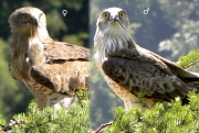 ADULT+FEMALE & ADULT+MALE : VII.2009 : Birds - 23 (left) & 22 (right) : Author - B.JOUBERT : Place - Haute-Loire : Country - France : Breeding pair