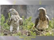 ADULT+MALE & ADULT+FEMALE : III.2012 : Birds - 19 (left) & ~23 (right) : Author - B.JOUBERT : Place - Haute-Loire : Country - France : Pair before breeding