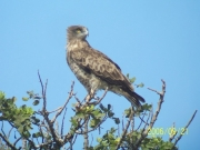 Short-toed Eagle (CIRCAETUS GALLICUS) / by DARAWSHI S. 2006
