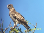 Short-toed Eagle (CIRCAETUS GALLICUS) / by DARAWSHI S. 2006