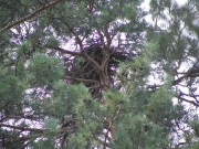 The nest of Short-toed Eagle