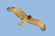 Spring 2013, Central Asia : this is a typical adult female Short-toed Eagle, also within an areal of Circaetus gallicus heptneri; although a distinguishing of the subspecies is under doubts now