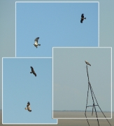 June : very pale, probably, immature Short-toed Eagle is attacked by a Black Kite in the steppe