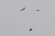29.07 : territorial conflict between 3 Short-toed Eagles of neighbour pairs