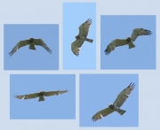 Short-toed Eagle (CIRCAETUS GALLICUS) / by FORGET Y. 2005-2007