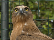 28.09.19 Java : a defiant glance of the Short-toed Eagle