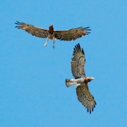 Short-toed Eagle (CIRCAETUS GALLICUS) / by FRÈZE R. 2008
