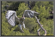 Short-toed Eagle (CIRCAETUS GALLICUS) / by FRÈZE R. 2010