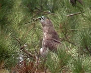 Short-toed Eagle (CIRCAETUS GALLICUS) / by GÉRARDIN F. 2003