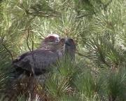 Short-toed Eagle (CIRCAETUS GALLICUS) / by GÉRARDIN F. 2003